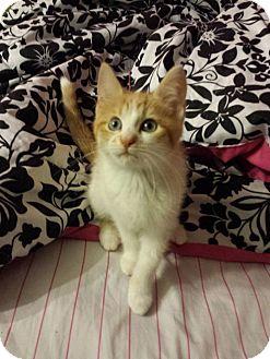 Domestic Shorthair Kitten for adoption in Fayette City, Pennsylvania - Rubble