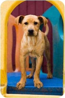 Labrador Retriever/Shar Pei Mix Puppy for adoption in Portland, Oregon - Normen