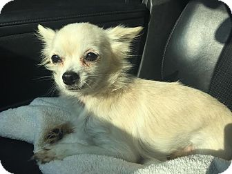 Chihuahua Mix Dog for adoption in Gallatin, Tennessee - Victoria