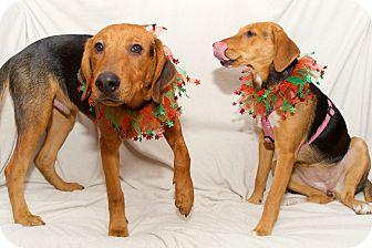 Beagle/Hound (Unknown Type) Mix Dog for adoption in Sagaponack, New York - Will