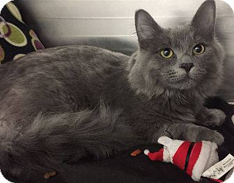 Maine Coon Cat for adoption in Hendersonville, North Carolina - Mailbox