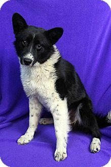 Blue Heeler Mix Dog for adoption in Westminster, Colorado - JAKE