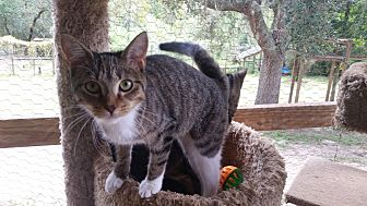 Domestic Shorthair Cat for adoption in Bronson, Florida - JoJo