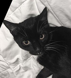 Domestic Shorthair Kitten for adoption in St. Louis Park, Minnesota - Ezekiel