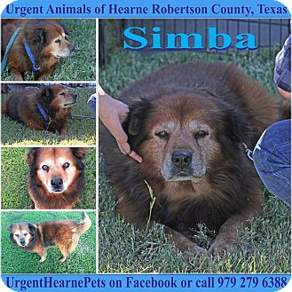Chow Chow Mix Dog for adoption in Hearne, Texas - Simba