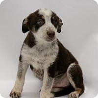 Adopt A Pet :: Sherlock - Phoenix, AZ