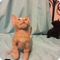American Shorthair Kitten for adoption in Waynesboro, Tennessee - Thor