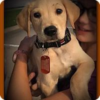 Adopt A Pet :: Scooby - Denton, TX