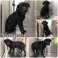 Adopt A Pet :: SAMPSON-ADOPTED - Springfield, MA