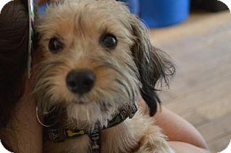 Yorkie, Yorkshire Terrier/Maltese Mix Dog for adoption in Hedgesville, West Virginia - Skye