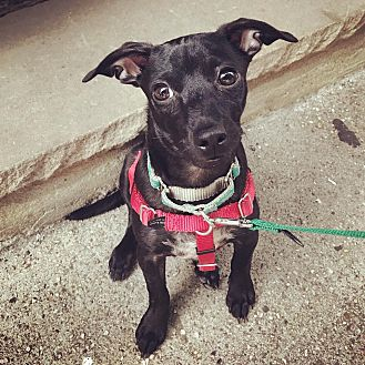 Chihuahua/Dachshund Mix Puppy for adoption in Jersey City, New Jersey - Lonzo Ball