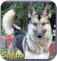 German Shepherd Dog/Husky Mix Dog for adoption in Aldie, Virginia - Sasha