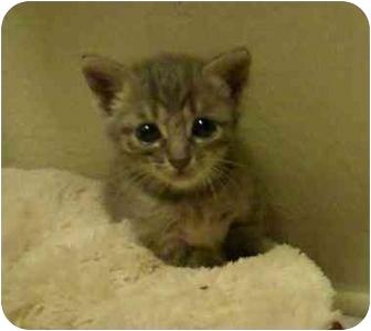 Domestic Shorthair Kitten for adoption in White Settlement, Texas - Moon