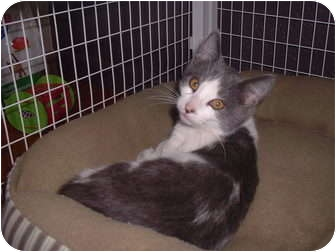 Domestic Shorthair Cat for adoption in Sterling, Kansas - Rosie
