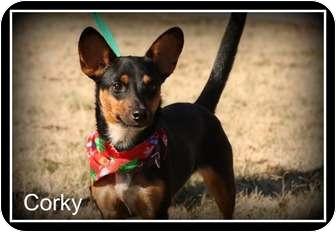 Corgi/Dachshund Mix Dog for adoption in Cranford, New Jersey - Corky