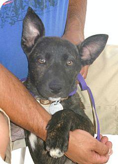Bull Terrier/German Shepherd Dog Mix Puppy for adoption in Santa Ana, California - Dino