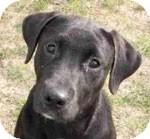 Labrador Retriever Mix Dog for adoption in St. Louis, Missouri - Scooter