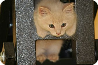 American Shorthair Kitten for adoption in Hagerstown, Maryland - Spirit