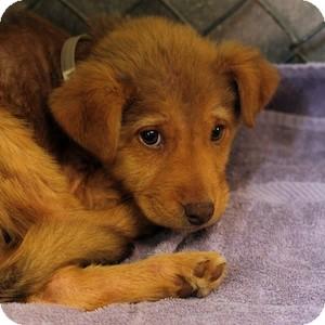 Labrador Retriever Mix Puppy for adoption in Athens, Georgia - Reese Pup