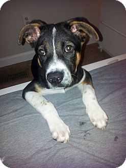 Shepherd (Unknown Type)/Beagle Mix Puppy for adoption in Nashville, Tennessee - Jeff The Puppy