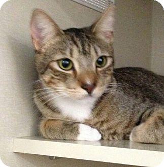 Domestic Shorthair Kitten for adoption in Chandler, Arizona - Anders