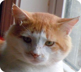 Domestic Mediumhair Cat for adoption in Jacksonville, North Carolina - Cinnamon