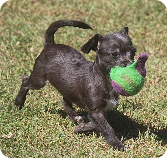 Chihuahua/Terrier (Unknown Type, Small) Mix Puppy for adoption in Simpsonville, South Carolina - Harley