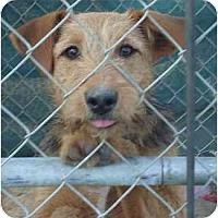 Adopt A Pet :: Curly Sue - Fowler, CA