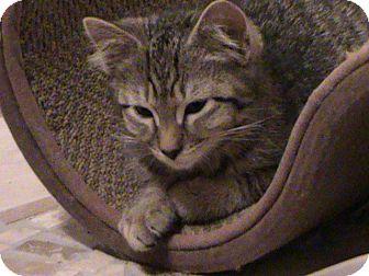 Domestic Shorthair Kitten for adoption in Webster, Massachusetts - Tickle