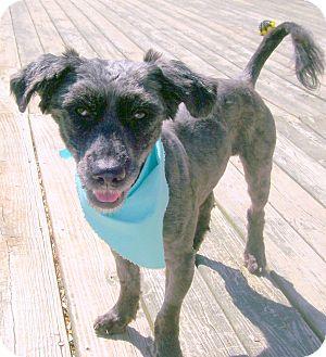 Terrier (Unknown Type, Medium)/Poodle (Miniature) Mix Dog for adoption in Staunton, Virginia - Alabama