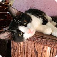 Adopt A Pet :: Johan - The Colony, TX