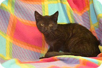 American Shorthair Kitten for adoption in East Smithfield, Pennsylvania - Fabio