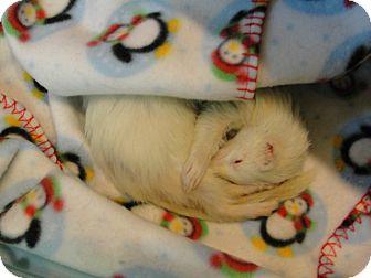 Ferret for adoption in Hartford, Connecticut - Lala