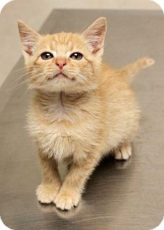 Domestic Shorthair Kitten for adoption in Montclair, New Jersey - Tommy