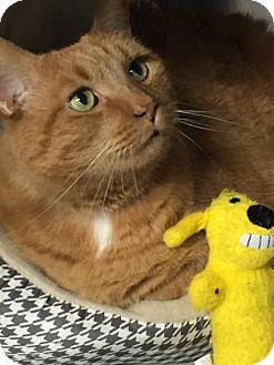 Domestic Shorthair Cat for adoption in Voorhees, New Jersey - Warren-PetSmart-Declawed