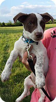 Weimaraner Mix Puppy for adoption in WESTMINSTER, Maryland - Stevie