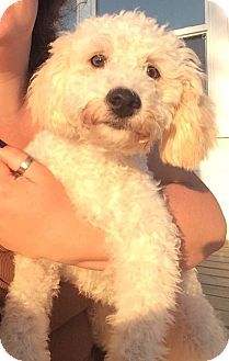 Poodle (Miniature)/Maltese Mix Puppy for adoption in Loveland, Ohio - Charlie