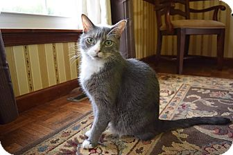 Domestic Shorthair Cat for adoption in Carlisle, Pennsylvania - PennyCP