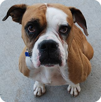 Boxer Dog for adoption in Council Bluffs, Iowa - Otis