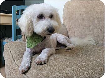Bichon Frise/Poodle (Miniature) Mix Dog for adoption in Las Vegas, Nevada - Murray