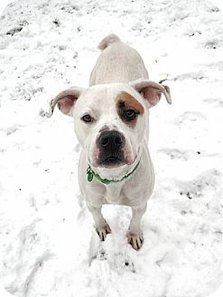 American Bulldog Mix Dog for adoption in Sharon Center, Ohio - Carver