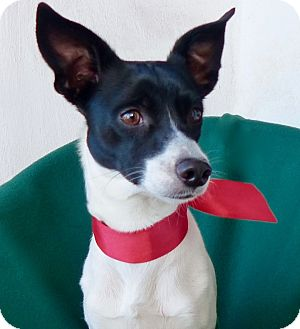 Jack Russell Terrier/Rat Terrier Mix Dog for adoption in Irvine, California - Charlie