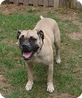 Bullmastiff Dog for adoption in North Port, Florida - Creed