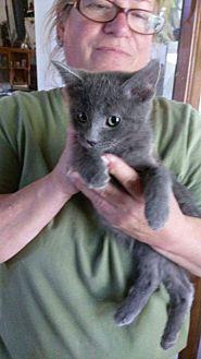 Russian Blue Kitten for adoption in Lancaster, California - Boomer