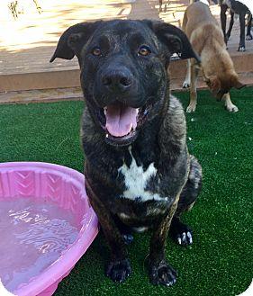 Labrador Retriever/Dutch Shepherd Mix Dog for adoption in Santa Ana, California - Brownie