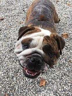 English Bulldog Dog for adoption in Santa Ana, California - Gordo
