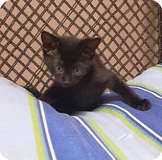 Domestic Shorthair Cat for adoption in Americus, Georgia - Virtue