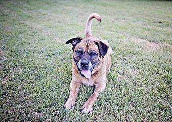 Shepherd (Unknown Type) Mix Dog for adoption in Youngsville, North Carolina - Yoda