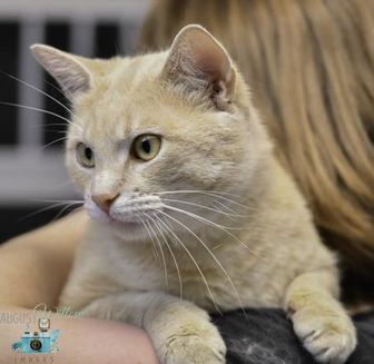 Domestic Shorthair/Domestic Shorthair Mix Cat for adoption in Ottumwa, Iowa - Goldie