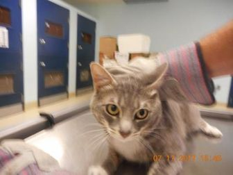 Domestic Shorthair/Domestic Shorthair Mix Cat for adoption in San Angelo, Texas - TCR27 7\17\17